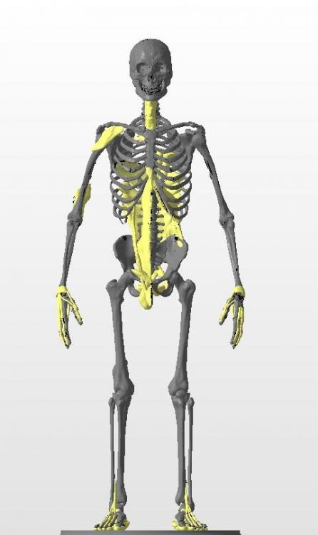Squelette_Tendon_Visible.thumb.jpg.708fcc2427f363e9370ce1b5f4464730.jpg