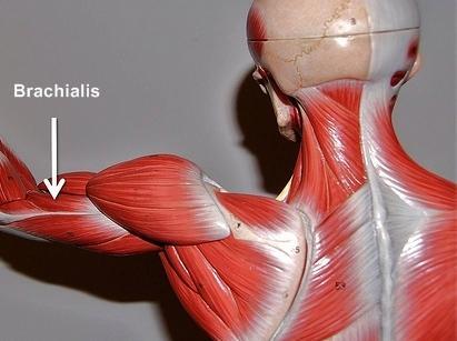 brachialis-model.jpg.99d13f259b71b146b99655bbc7a687c7.jpg