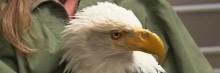 Bec d'aigle américain imprimé en 3D