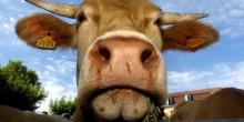 Vache salon de l'agriculture header