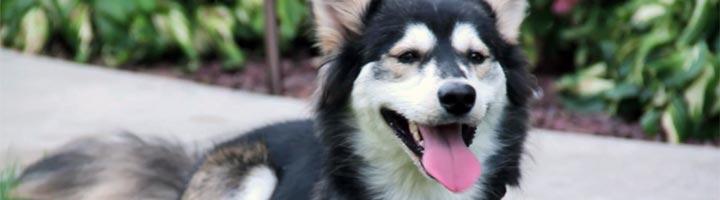 photo chien husky prothese imprimante 3D
