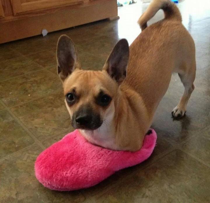 Bubbles le chien sans pattes avants dans un chausson