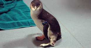 Bagpipes Pingouin